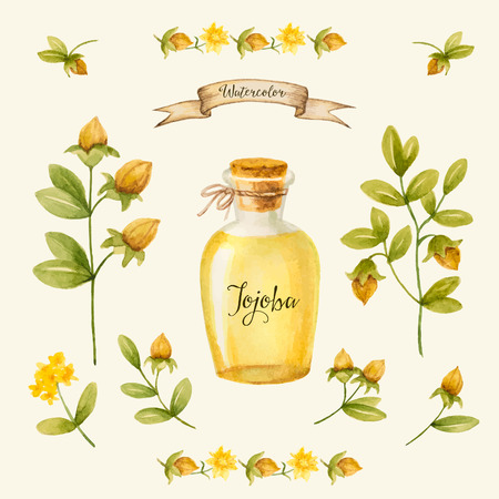 Jojoba oil, watercolor vector image, a medicinal plant.A healthy life. Illustration