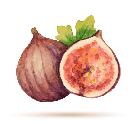 fig leaf: Figs  hand drawn watercolor, on a white background. Vector illustration.