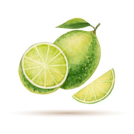 lime: Lime  hand drawn watercolor, on a white background. Vector illustration. Illustration