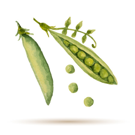 in peas: Watercolor handmade peas  on white background, vector illustration. Illustration