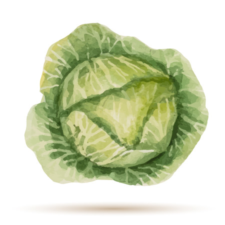 cabbage: Watercolor handmade cabbage on white background, vector illustration.