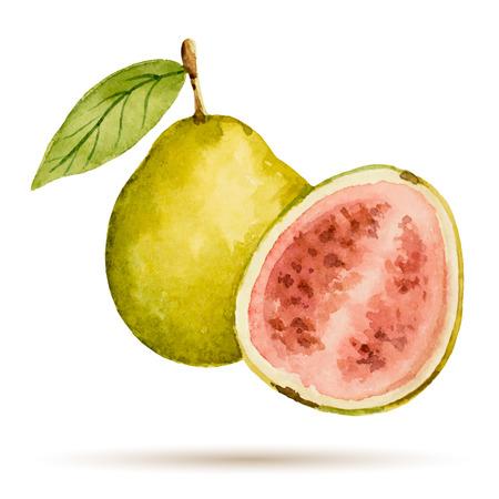 Guave hand getekende aquarel, op een witte achtergrond. Vector illustratie.