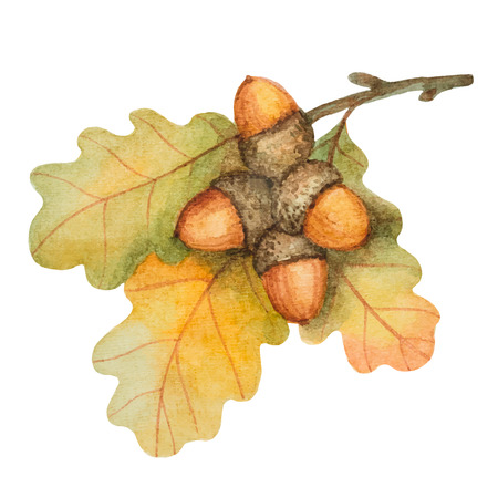 Watercolor oak branch with acorns on a white background for your autumn design. Çizim