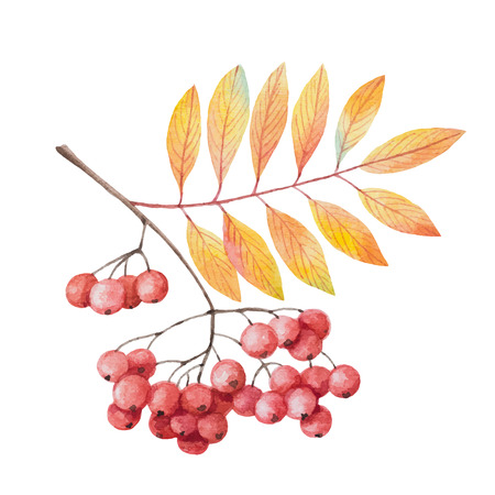 Hand painted watercolor twig rowan branch with red berries on a white background. For your autumn design greeting cards, invitations. Ilustração