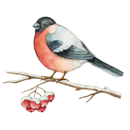 Watercolor bullfinch on a branch of Rowan Christmas element for your design. Illustration