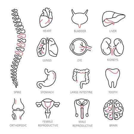 female reproductive organs: Modern of thin linear icons on a theme medicine human internal organs.