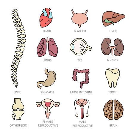 de color iconos de líneas finas moderna de un tema de la medicina órganos internos humanos. De alta calidad para los conceptos modernos. Para etiquetar organización médica. iconos de estilo de planos para su colección.