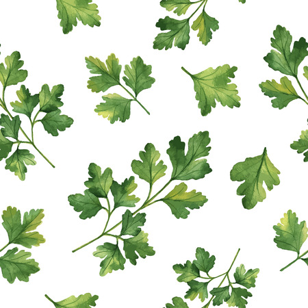 cilantro: Watercolor vector seamless pattern hand drawn herb cilantro . Watercolor leaves and branches of cilantro on a white background. Herbs for packaging design, cards, postcards and book illustrations.