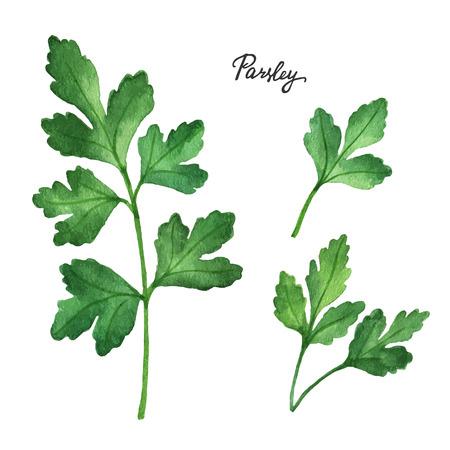 kulinarne: Akwarela gałęzie i liście pietruszki. produkty ekologiczne samodzielnie na białym tle. Akwarele ilustracji wektorowych z ziół i przypraw do swojego menu.