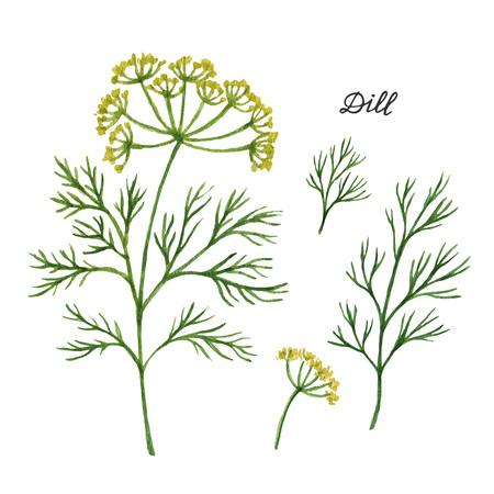 Watercolor takken en bladeren van dille. Eco-producten op een witte achtergrond. Watercolor vector illustratie van de culinaire kruiden en specerijen aan uw menu.