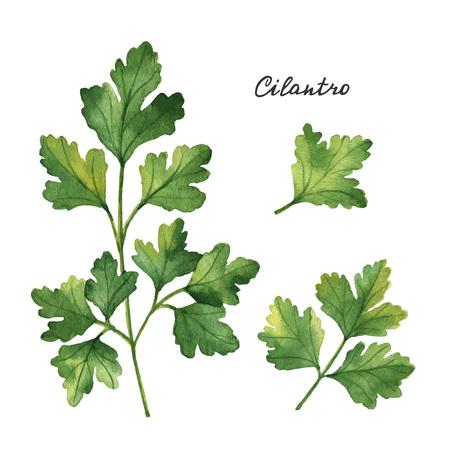 branches d'aquarelle et de feuilles de coriandre. Les produits éco isolé sur fond blanc. Aquarelle illustration vectorielle d'herbes culinaires et des épices à votre menu. Vecteurs
