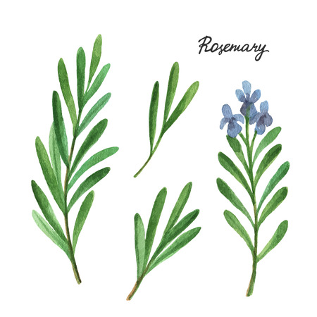 kulinarne: Watercolor branches and leaves of rosemary. Eco products isolated on white background. Watercolor vector illustration of culinary herbs and spices to your menu.