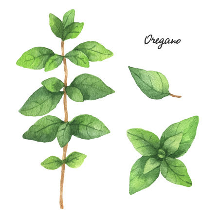 oregano: Watercolor branches and leaves of oregano. Eco products isolated on white background. Watercolor vector illustration of culinary herbs and spices to your menu.