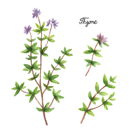 Watercolor branches and leaves of thyme. Eco products isolated on white background. Watercolor vector illustration of culinary herbs and spices to your menu.
