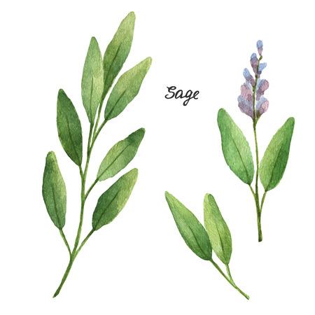 수채화 가지와 세이지의 잎. 에코 제품은 흰색 배경에 고립입니다. 메뉴에 요리 허브와 향신료의 수채화 벡터 일러스트 레이 션. 일러스트