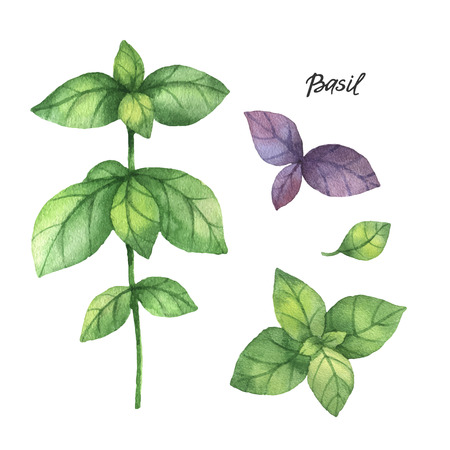 albahaca: ramas de la acuarela y hojas de albahaca. productos ecológicos aislados en el fondo blanco. ilustración vectorial de la acuarela de las hierbas culinarias y especias a su menú.