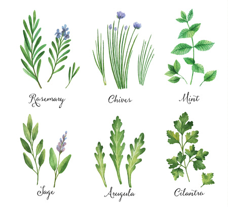 cilantro: Watercolor vector hand painted set with wild herbs and spices. The perfect design for greeting card, skrabbuking, menus, packaging, kitchen decor, cosmetics, natural and organic products. Design for food, farmers production and medicine.