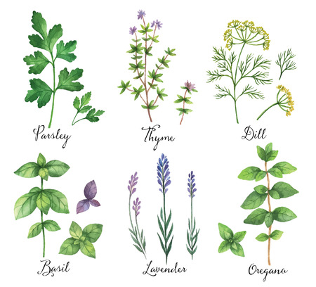 edible: Watercolor vector hand painted set with wild herbs and spices. The perfect design for greeting card, skrabbuking, menus, packaging, kitchen decor, cosmetics, natural and organic products. Design for food, farmers production and medicine.