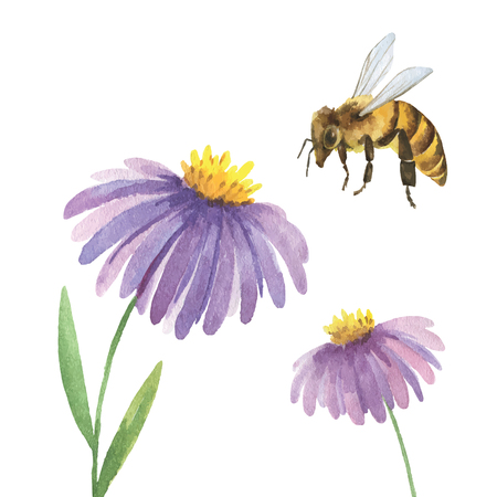 Watercolor summer background with Violet Asters flower and a bee on a white background. Poster design element. Vector illustration.