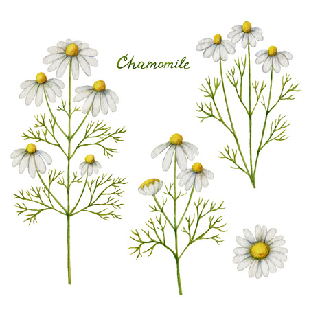Watercolor vector illustration of chamomile. Healing Herbs for design Natural Cosmetics, aromatherapy, medicine, health products and homeopathy.