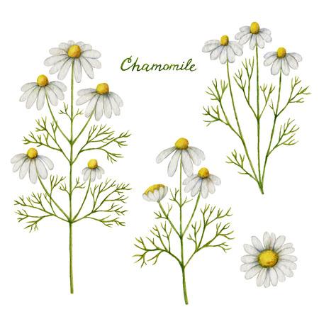 Ilustração em vetor em aquarela de camomila. Ervas medicinais para design Cosméticos Naturais, aromaterapia, medicamentos, produtos para a saúde e homeopatia.