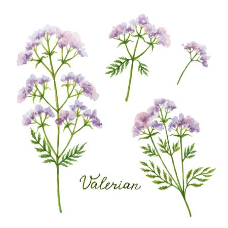 Ilustración vectorial de la acuarela de la valeriana. Hierbas medicinales para el diseño de cosmética natural, aromaterapia, medicina, productos de salud y la homeopatía. Foto de archivo - 68502318