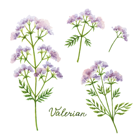 Watercolor vector illustration of Valerian. Healing Herbs for design Natural Cosmetics, aromatherapy, medicine, health products and homeopathy.