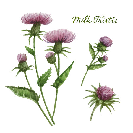 homeopathy: Watercolor vector illustration of milk Thistle. Healing Herbs for design Natural Cosmetics, aromatherapy, medicine, health products and homeopathy. Illustration
