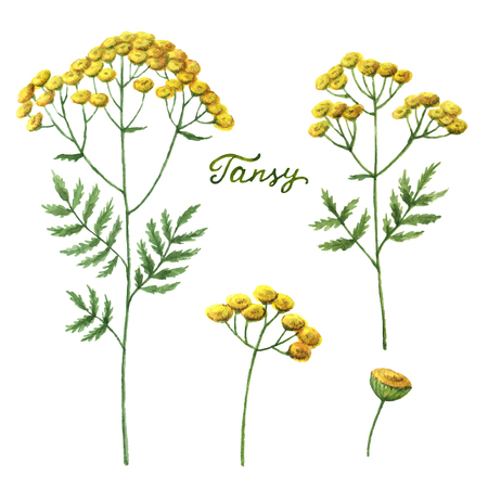 natural cosmetics: Watercolor vector illustration of tansy. Healing Herbs for design Natural Cosmetics, aromatherapy, medicine, health products and homeopathy.