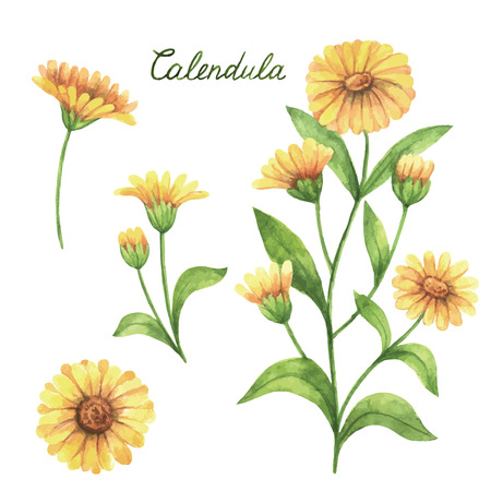 Hand drawn watercolor vector botanical illustration of calendula, marigold. Healing Herbs for design Natural Cosmetics, aromatherapy, medicine, health products and homeopathy.