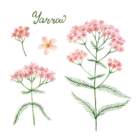 Hand drawn watercolor vector botanical illustration of yarrow. Healing Herbs for design Natural Cosmetics, aromatherapy, medicine, health products and homeopathy.