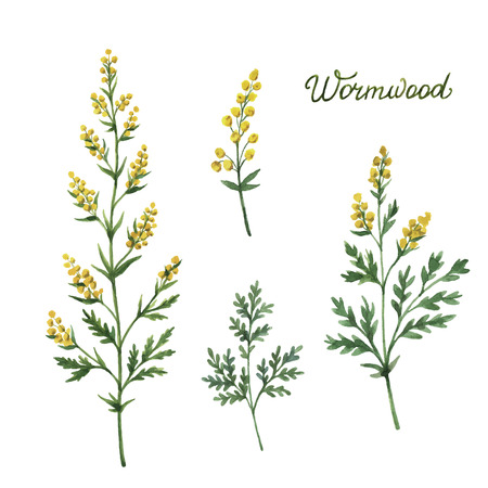 Hand drawn watercolor vector botanical illustration of wormwood. Healing Herbs for design Natural Cosmetics, aromatherapy, medicine, health products and homeopathy.