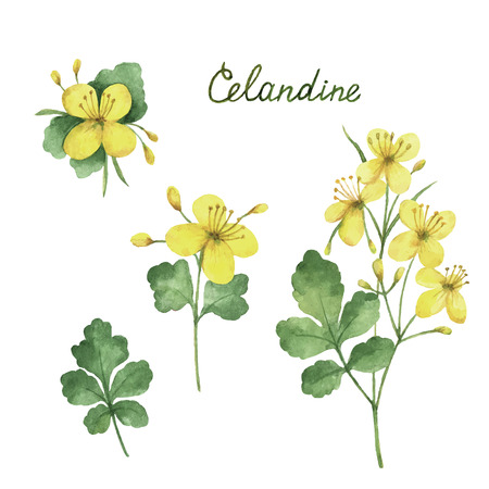 Hand drawn watercolor vector botanical illustration of celandine. Healing Herbs for design Natural Cosmetics, aromatherapy, medicine, health products and homeopathy.