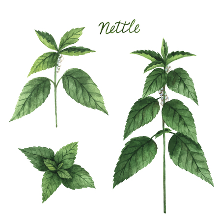 nettle: Hand drawn watercolor vector botanical illustration of nettle. Healing Herbs for design Natural Cosmetics, aromatherapy, medicine, health products and homeopathy. Stock Photo