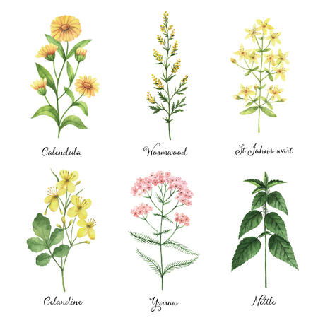 La mano acuarela pintada de vectores conjunto con hierbas medicinales y plantas. El diseño perfecto para tarjeta de felicitación, la medicina, el embalaje, de la cocina, cosméticos, productos naturales y orgánicos.