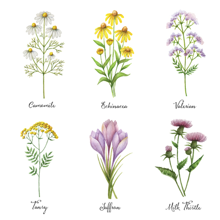Watercolor hand painted vector set with medical herbs and plants. The perfect design for greeting card, medicine, packaging, kitchen decor, cosmetics, natural and organic products.