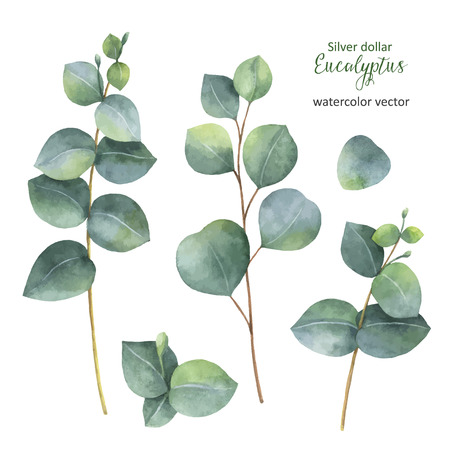 Watercolor hand painted vector set with silver dollar eucalyptus leaves and branches. Banque d'images