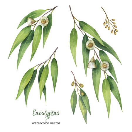 botany: Watercolor hand painted vector set with eucalyptus leaves and branches.