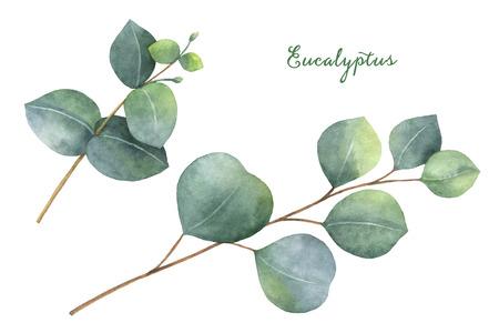 수채화 손 유칼립투스 나뭇잎과 나뭇 가지로 설정 그렸다. 스톡 콘텐츠