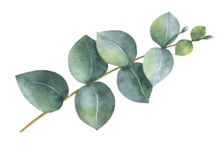 Watercolor hand painted silver dollar eucalyptus leaves and branches. Stock Photo