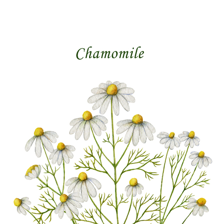 Watercolor chamomile card of flowers and leaves on a white background. Stock Photo
