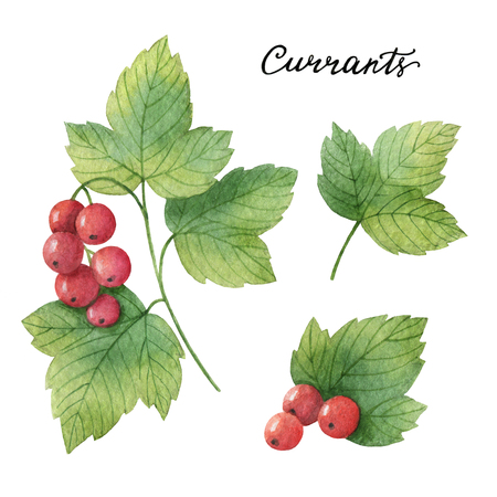 Hand drawn watercolor botanical illustration of Currants.