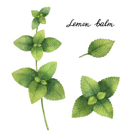 레몬 밤의 손으로 그린 수채화 식물 그림. 스톡 콘텐츠