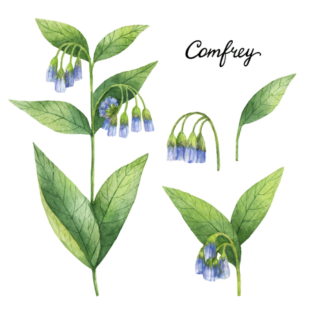 Hand getekende aquarel botanische illustratie van Comfrey.