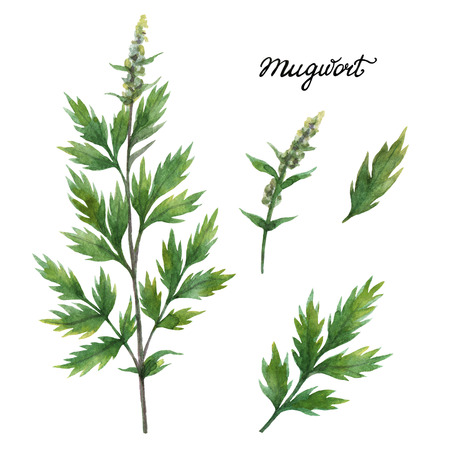 Hand drawn watercolor botanical illustration of Mugwort.