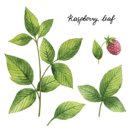 Hand drawn watercolor botanical illustration of Raspberry leaf.