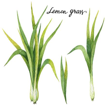 레몬 잔디의 손으로 그린 수채화 식물 그림. 스톡 콘텐츠