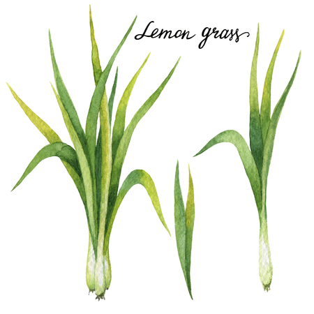 grass: Hand drawn watercolor botanical illustration of Lemon grass.