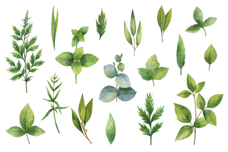 skullcap: Hand drawn watercolor set of herbs and spices.
