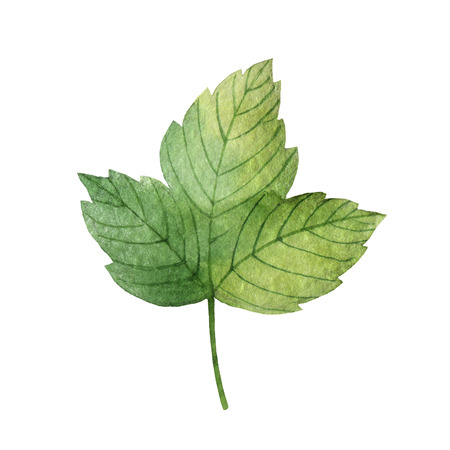 Hand drawn watercolor botanical illustration of a green leaf currant. Stock Photo
